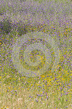 Texture And Colors, Purple Yellow Wild Flowers, Meadow Stock Photos - Image: 24844063