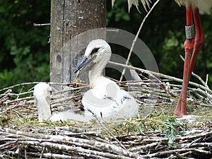 Stork Chicks Stock Photos - Image: 24846233