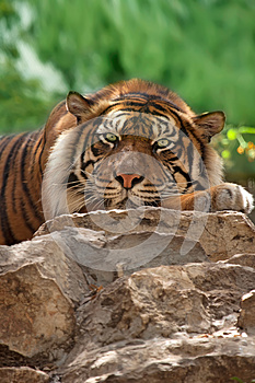 Tiger Royalty Free Stock Photos - Image: 24848528