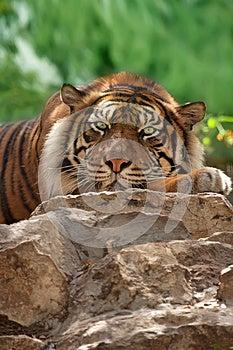 Tiger Royalty Free Stock Photos - Image: 24848528