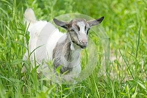 Beautiful Portrait Goat. Royalty Free Stock Photo - Image: 24874495