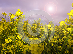 Rape Crop Summer Meadow Stock Images - Image: 24880604