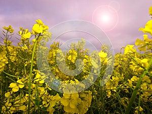 Rape Crop Summer Meadow Stock Images - Image: 24880604