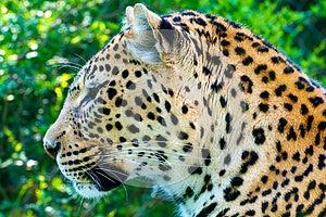 Leopard Portrait Stock Photos - Image: 24888863