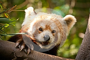 Panda Red Stock Photo - Image: 24917590