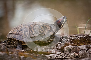 Turtle Royalty Free Stock Image - Image: 24917606