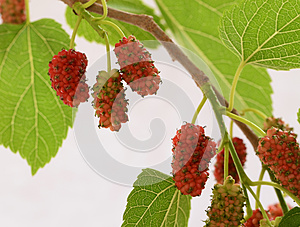 Red Mulberries Royalty Free Stock Images - Image: 24928089