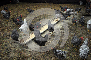 Chickens Farm Stock Image - Image: 24931731