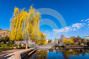 Weeping Willow In The Park Royalty Free Stock Images - Image: 24939619