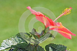 Orange Hibiscus Flower Blossom Royalty Free Stock Image - Image: 24983876