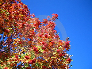 Mountainash In The Sky Free Stock Photo