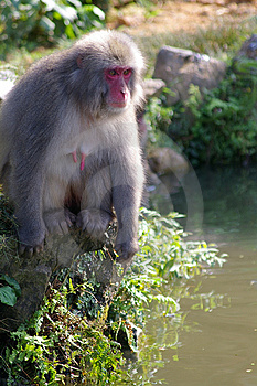Macaque By A Pond Stock Photography