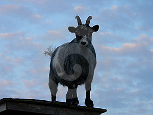 Goat On A Shed Stock Image