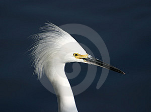 Egret Portrait Stock Photos