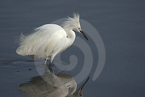 Egret Reflections Free Stock Photography