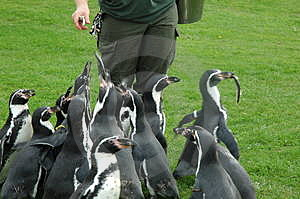 Feeding The Penquins Stock Photo