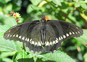 Black Butterfly Feeding Stock Image
