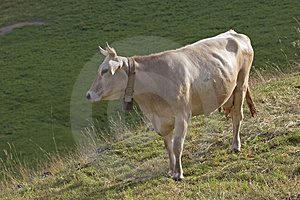 Cow Free Stock Images