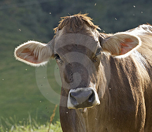 Cow Free Stock Photo