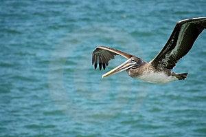 Pelican In Flight Free Stock Photo
