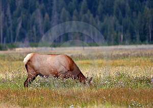 Elk Grazing Amongst Flowers Stock Photo