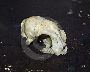 Rodent Skull Stock Photos