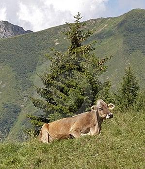 Cow Free Stock Photo