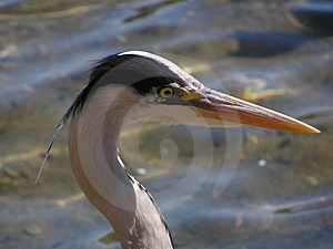 Portrait Of A Heron Stock Photo