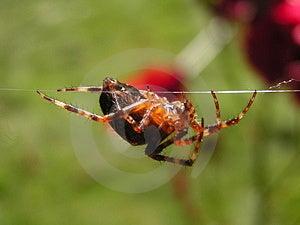 Hanging Spider Free Stock Photo