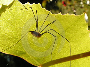 Spider On Leaf Free Stock Image