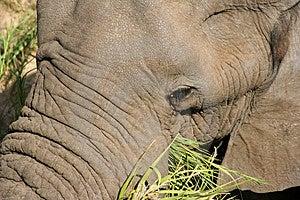 Elephant Free Stock Image