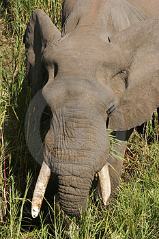Elephant Free Stock Photography