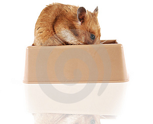 Stock Photos - Hamster