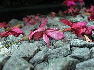 Fuschia On Stones Stock Photography