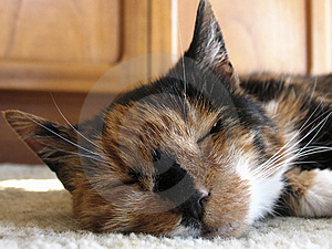 Tortoishell Cat Free Stock Photo