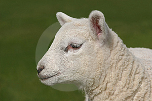 Profile  Of A Lamb Stock Image - Image: 2502041