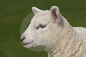 Profil D'un Agneau Image stock - Image: 2502041