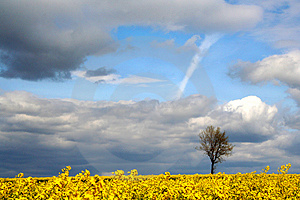 Landscape - yellow field Stock Photography
