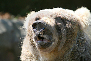 Big Bear Mouth Stock Photos - Image: 2509783