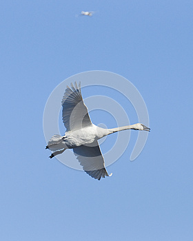 Flying Trumpeter Swan Royalty Free Stock Images - Image: 25000079