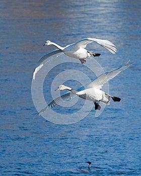 Pair Of Landing Swans Royalty Free Stock Image - Image: 25000136