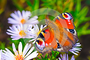 European Peacock Butterfly (Aglais Io) On Flower Stock Images - Image: 25012844