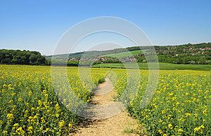 Track Through A Field Of Yellow Rapeseed Royalty Free Stock Photos - Image: 25014058
