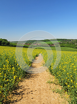 Track Through A Field Of Yellow Rapeseed Stock Images - Image: 25014254