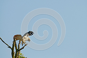 Red Tail Hawk Stock Photos - Image: 25014833