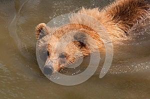 Bear Swimming Stock Photography - Image: 25015852