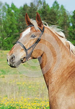 Portrait Of Palomino Cart Horse In Spring Field Stock Image - Image: 25029461