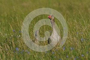 Greylag Goose Stock Photo - Image: 25035770