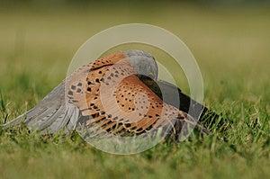 Common Kestrel (Falco Tinnunculus) Stock Image - Image: 25035891