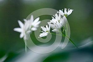 Wild Garlic Stock Photo - Image: 25045710